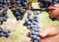 Città del Vino: Tollo si prepara alla vendemmia turistica